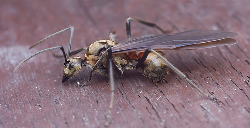 Polyrhachis sp queen ant?...IMG_6531merged copy