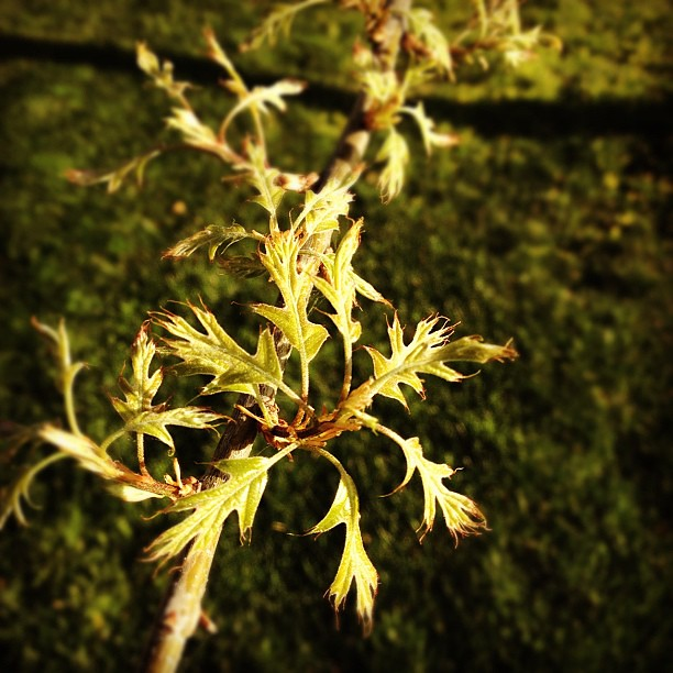 100/365+1 New Growth #oak #iphone4s #spring #leaves