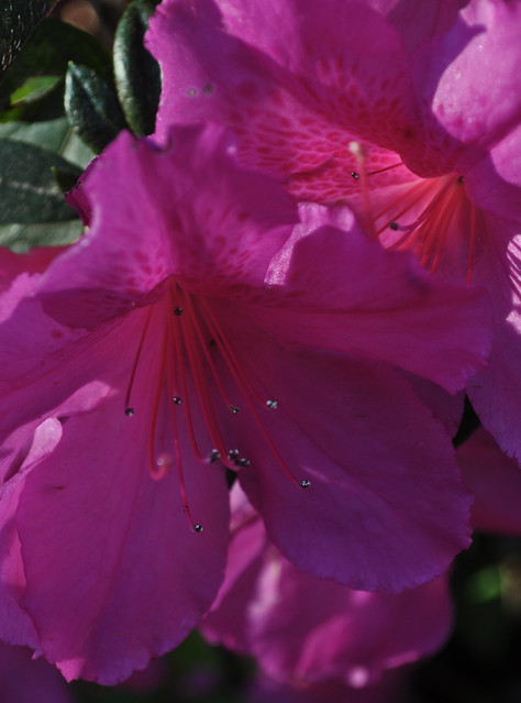 Rhododendron x 'Formosa'
