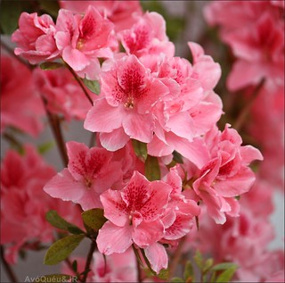 My beautiful azalea ✿