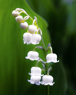 Lily Of The Valley 4