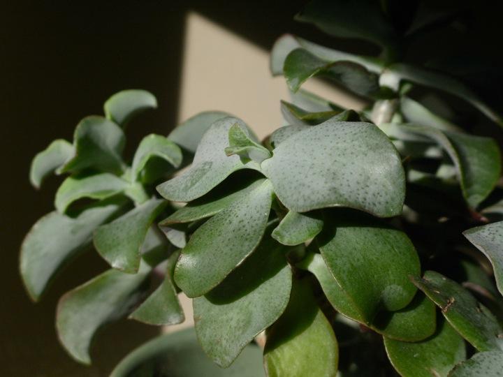 grey green jade plant 2