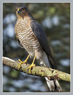 Sparrowhawk taken in garden