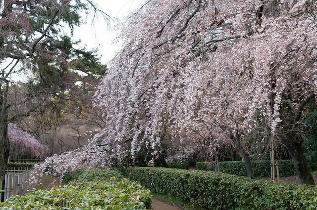 京都御苑 枝垂れ桜