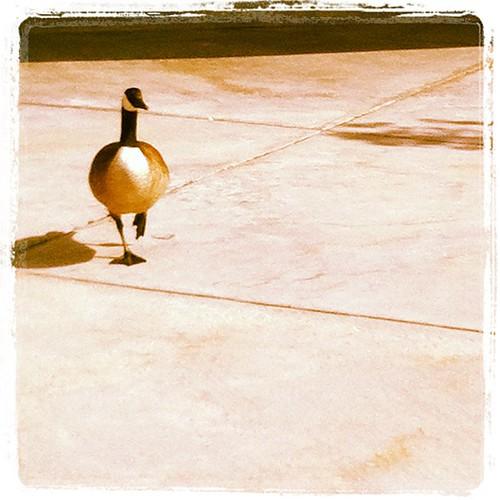 A line goose.