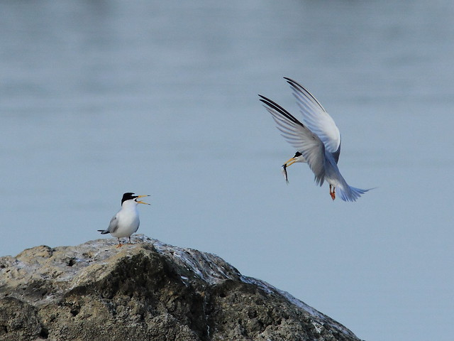 Least Tern courtship 20120419