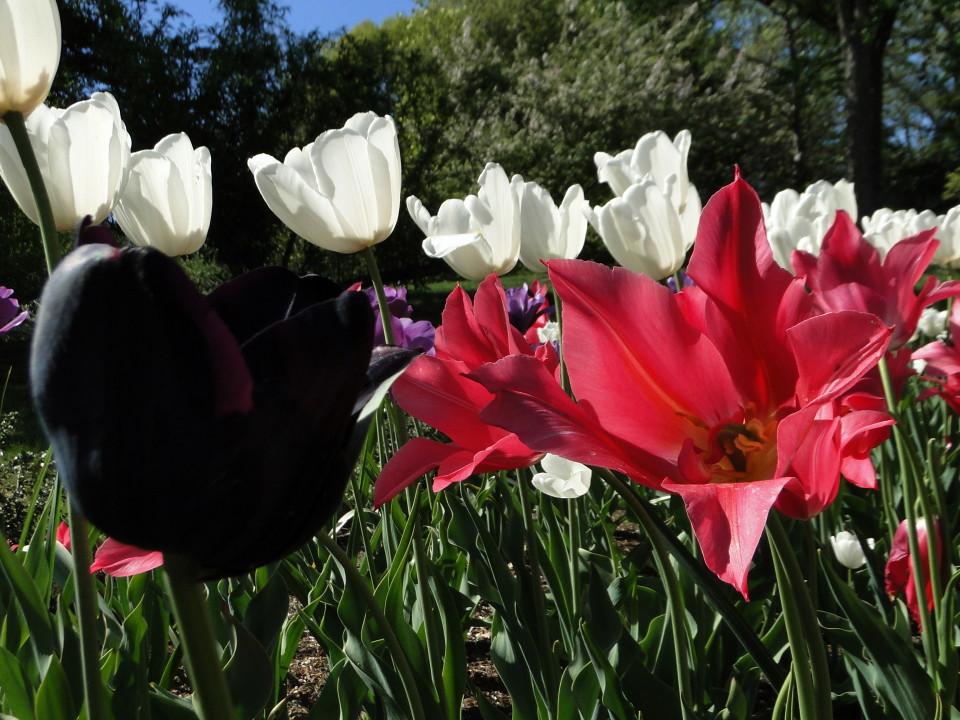 77-21apr12_3928_Botanical_garden_tulip