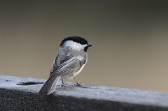 Chickadee-5583.jpg by Mully410 * Images