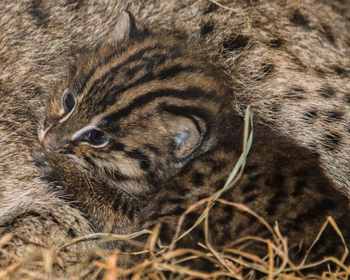 Fishing cats born at the smithsonian s national zoo