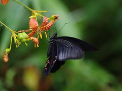圖6:黑鳳蝶成蟲♂
