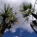 Palm and Yucca - Palma y Yuca; al sur de Zapotitlán Palmas, Región Mixteca, Oaxaca, Mexico por Lon&Queta