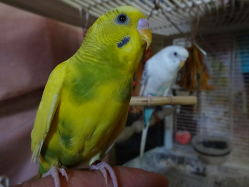 pet birds