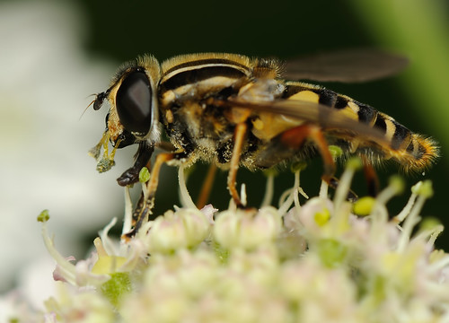 hoverfly_5894 by Andy Pritchard - Barrowford