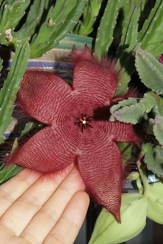 Stapelia grandiflora (Apocynaceae: Asclepiadoideae)