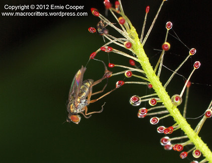 fly & drosera 2 cropped © Ernie Cooper sm for post