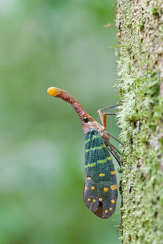 Pyrops intricata lantern bug of malaysia / lanternfly IMG_7265b copy