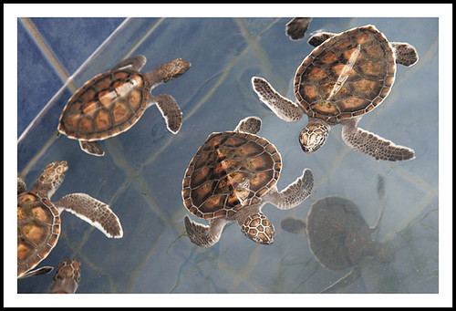 Baby Turtles at Phuket Aquarium
