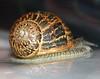 Pando The Snail