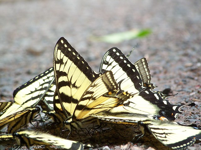 Butterfly swarm in the...