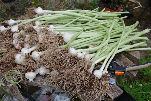 lousy garlic harvest