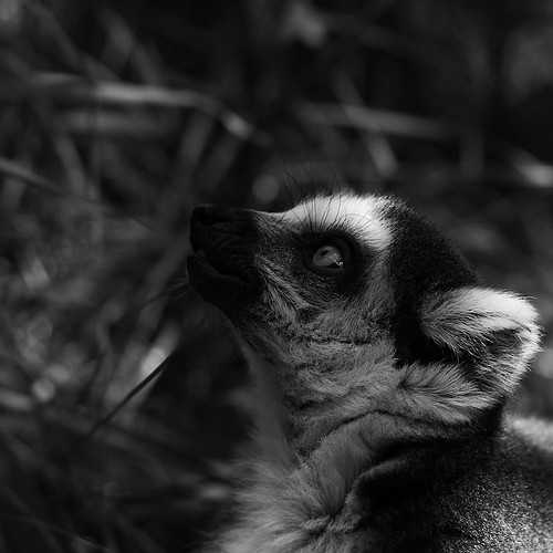 Ring-tailed lemur by Joachim Ziebs