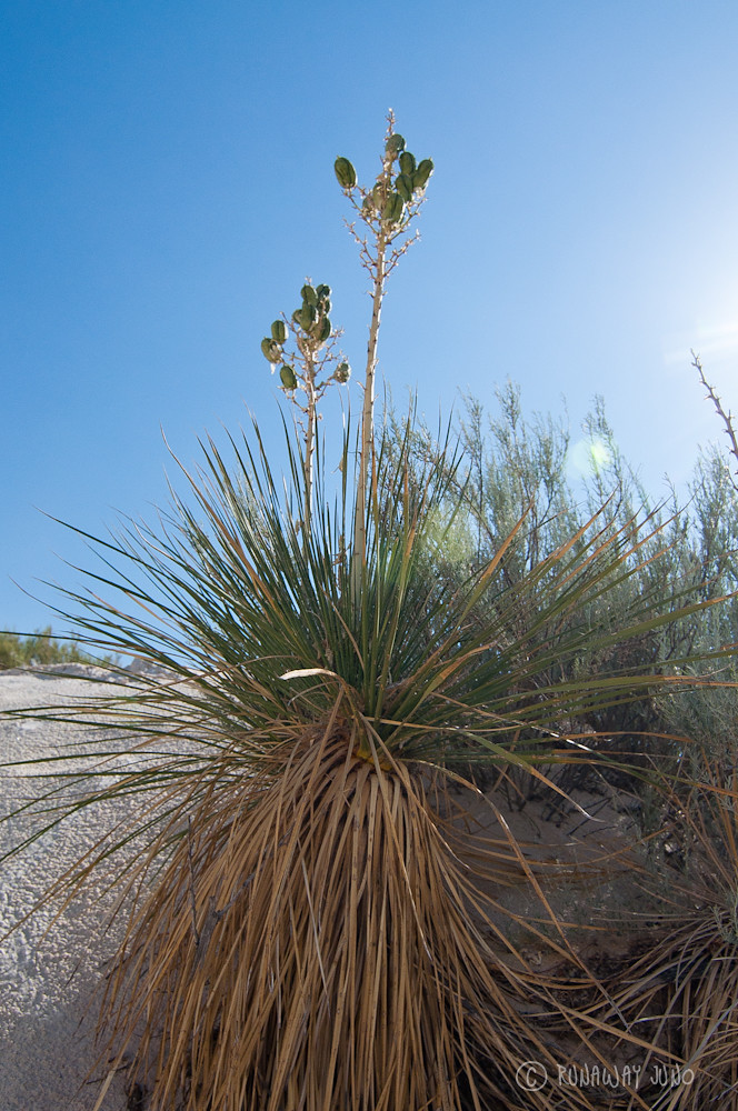 Yucca plant at the white sand dunes