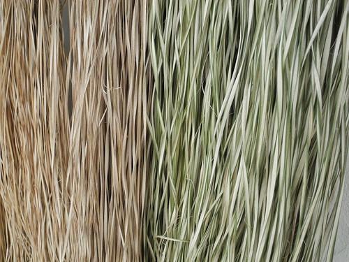 曬乾後的輪繖草呈現自然的色彩及香氣。