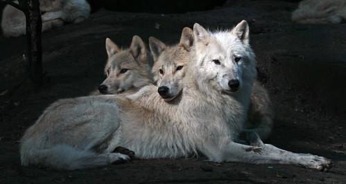 hudsonbay wolf artis IMG_0089 by j.a.kok