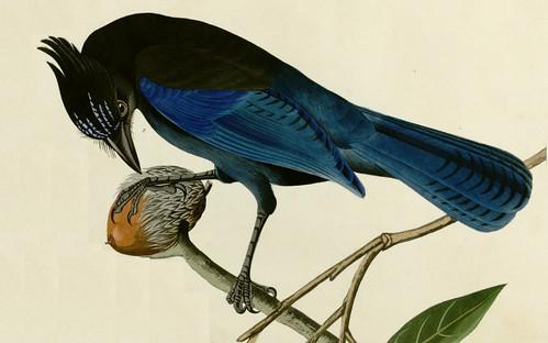 Audubon's painting of Steller's Jay