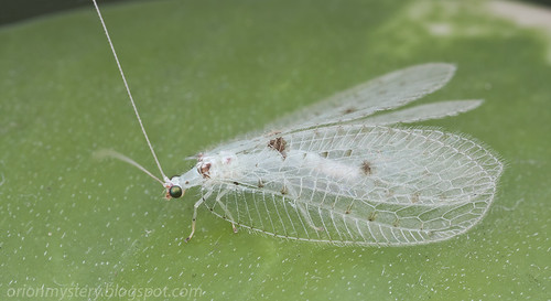 white lacewing Ankylopteryx  sp. IMG_8054 copy