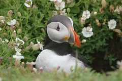 Puffin with Sea Campion