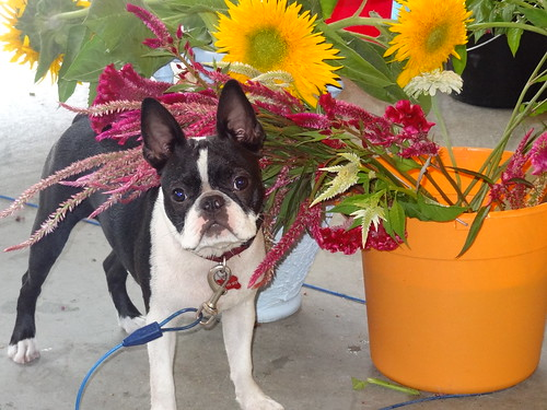 Charlie and Flowers August 2012 (3)