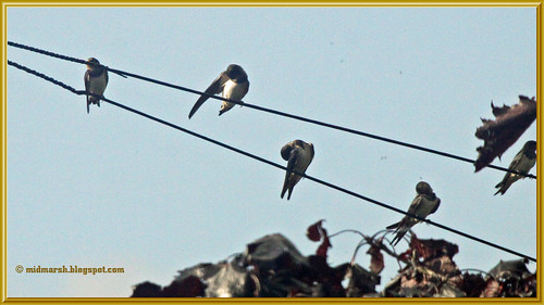 Swallows 2