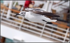 Larus atricilla - Laughing Gull