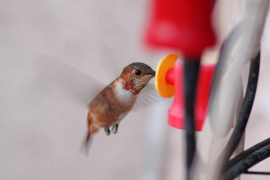 Rufous Hummingbird 110612-2