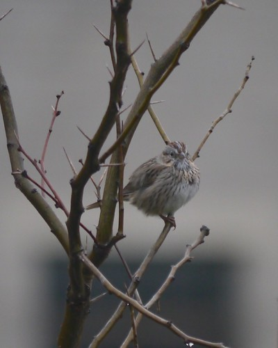 Lincolns Sparrow - 1