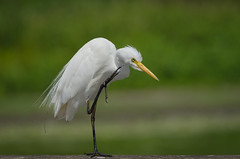 animal, wing, nature, fauna, close-up, ciconiiformes, great egret, heron, pelecaniformes, beak, bird, wildlife,