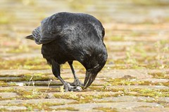 stonefactionbirding2014.blogspot.co.uk/  Carrion Crow at City Quay, Dundee attempts to get into a small whelk shell....