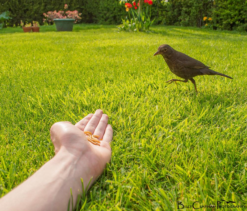 blackbird handfeeding hand feed
