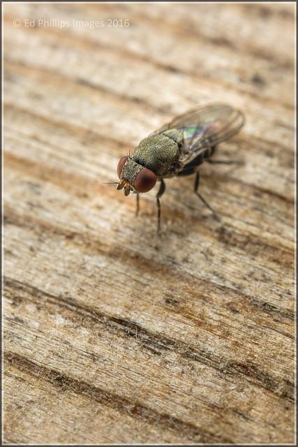 Cacoxenus Fly