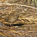 South Georgia Pipit - Photo (c) Brian Gratwicke, some rights reserved (CC BY)