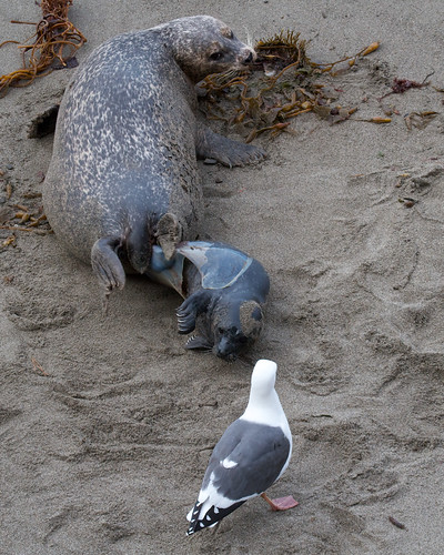 Harbor Seal birth