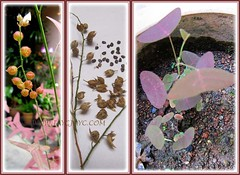 Seedheads, seeds and seedlings of Christia vespertilionis in our garden from Nov 2011-March 2012