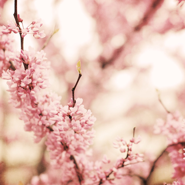 soft blossoms5