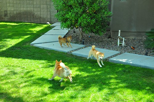 Three Shiba dogs playing chase.
