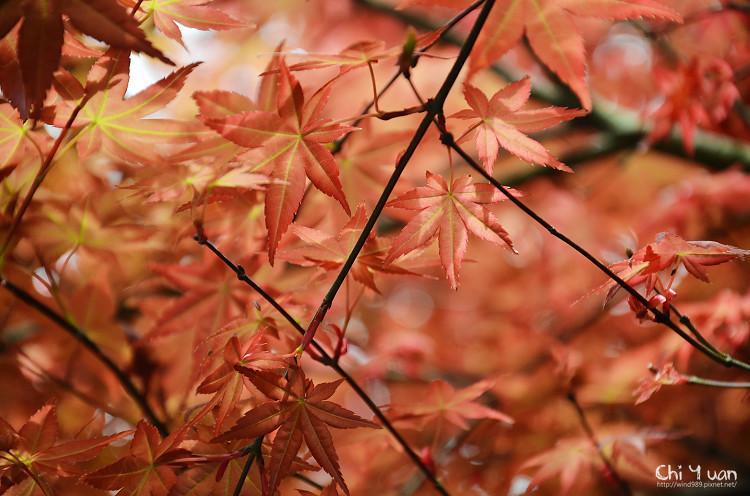 竹子湖紅楓06.jpg