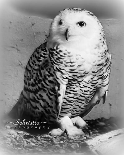 Snow Owl (DSC_0173V2)