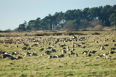 Pink-footed Geese 2