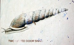 Two-Lipped Door Snail