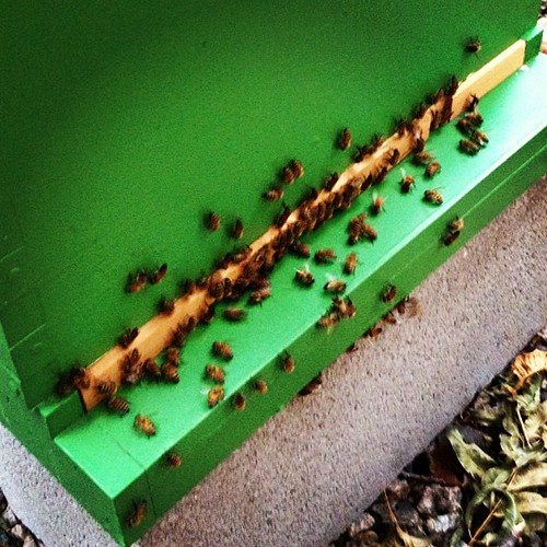 I may go Winnie the Pooh on these bees, they are hiding honey,
